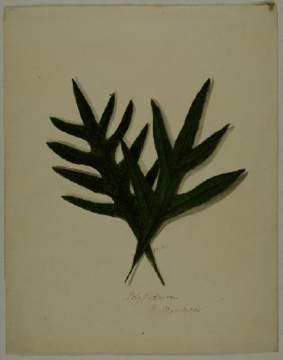 Painting; Polypodium billardieri