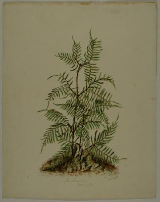 Painting; Gleichenia dicarpa